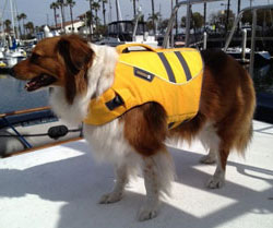 border collie wearing PFD